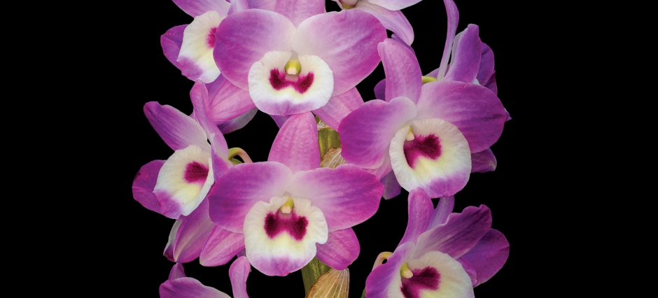featured image [post] Orchid Daze (Feb 13-Apr 10, 2016)